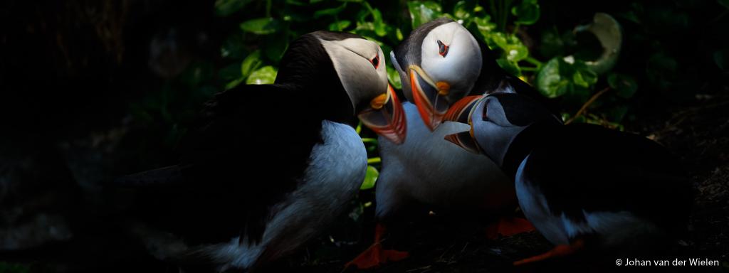 Secret puffing meeting  ~ the arctic awakens ~ Tour Weinig vogels zijn zó schattig en lief als de papegaaiduikers. Tegelijk zijn ze op de diverse vogeleilanden zeer eenvoudig te fotograferen , zó makkelijk dat ik toch op zoek ga naar iets anders, iets extra's. Deze drie waren al een hele poos met elkaar bezig en af en toe kwamen de kopjes precies in een straaltje licht. Spelen met de belichting gaf mij het gevoel van een 'geheime meeting'. Wat zouden ze bespreken? Snode plannen...  Ben je geïnteresseerd in de Arctic Awakens Tour 2020, een camperreis langs de meest spectaculaire plekken van het hoogste noorden van Noorwegen? Stuur mij dan alvast vrijblijvend een mail info AT johanvanderwielen PUNT nl