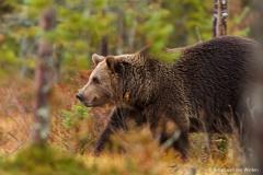 europese bruine beer; ursus arctos; european brown bear